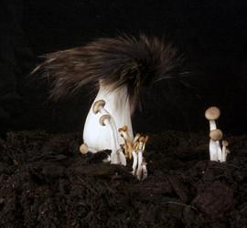 racoon fungi2